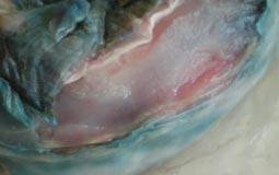 Coniglio - pseudomonas